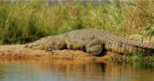 Crocodile spotting on Zuari River in Goa - fun things to do in Goa