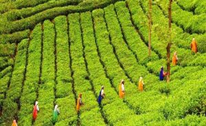 Tea Plantations - Things to do in Munnar